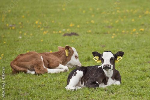 Poster de jardin Vache Zwei Kälber