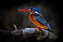 Female Blue-eared Kingfisher (Alcedo Meninting)
