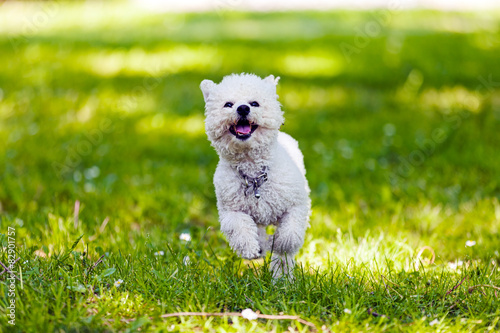 Valokuvatapetti bichon in the park