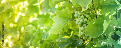Spoed Foto op Canvas Wijngaard White grapes background.