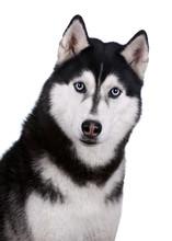 Siberian Husky Dog Portrait On A White Background