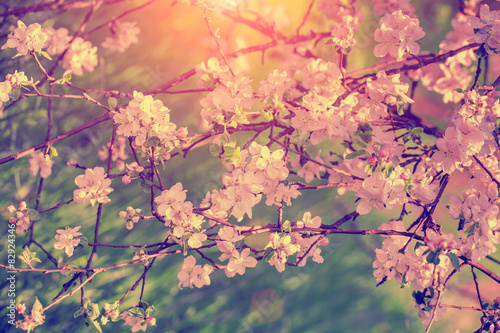 Vintage blossoming apple tree