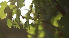 Sun-Flared Shot Of Vine Leaves And Grapes In Vineyard