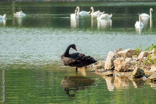 Fotografie, Obraz  Lonely černá labuť v zeleném jezeře