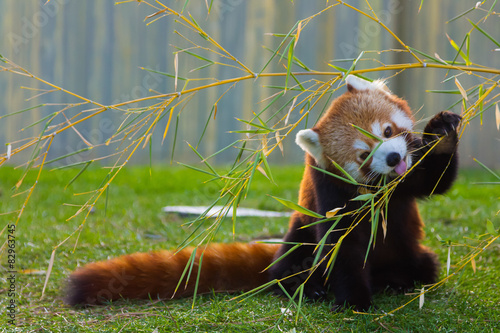Photo  The panda red or lesser panda (Ailurus fulgens)