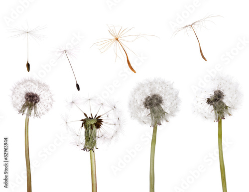 set of old dandelions and seeds isolated on white
