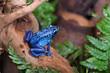 Blue poison-dart frog (Dendrobates tinctorius azureus)