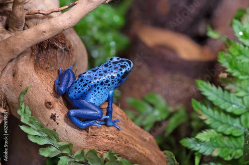 Foto op Canvas Kikker Blue poison-dart frog (Dendrobates tinctorius azureus)