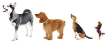 Group Of Dogs Different Sizes In Row, Isolated On White