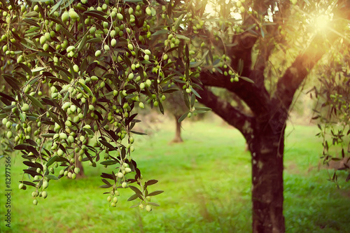 Stampa su Tela Vintage toned olive grove with sunlight beams