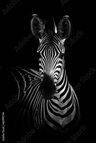 Aluminium Prints Zebra Zebra in Black and White