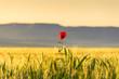 PRIMAVERA.Paesaggio agreste:papavero solitario.ITALIA