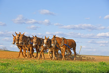 Mules Working On Amish Farm