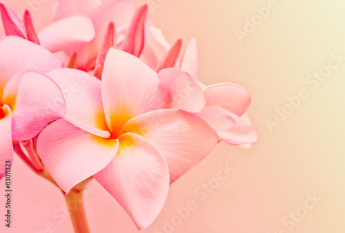 Pink and yellow Plumeria spp. (frangipani flowers, Frangipani, P