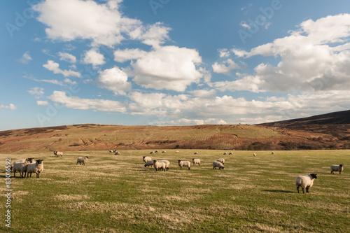 flock of blackface sheep grazing Poster