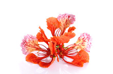 Red Peacock Flower Isolated On The White Background