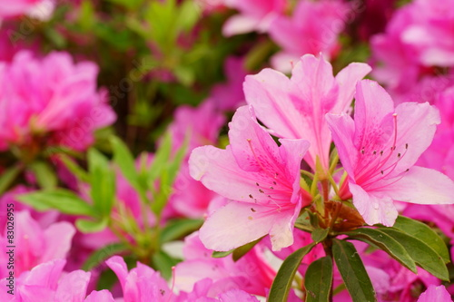 Photo sur Aluminium Azalea ツツジ