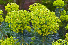 Euphorbia Flowering Evergreen ...