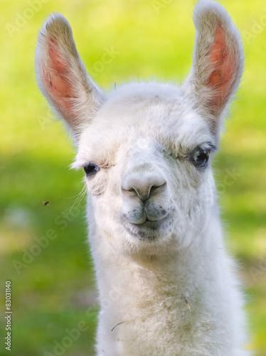 Staande foto Lama Llama (Lama glama) baby