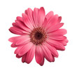 Leinwandbild Motiv Pink gerbera