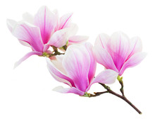Blossoming Pink  Magnolia Flow...