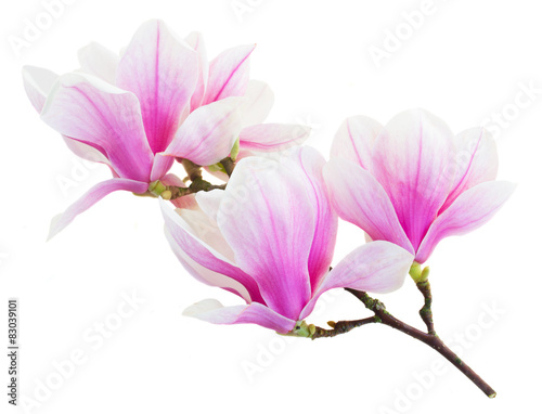 Door stickers Magnolia Blossoming pink magnolia Flowers