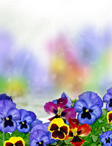 Poster Pansies pansy flowers