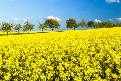 Spoed Foto op Canvas Geel Rapsfeld im Frühling, Allee, blauer Himmel