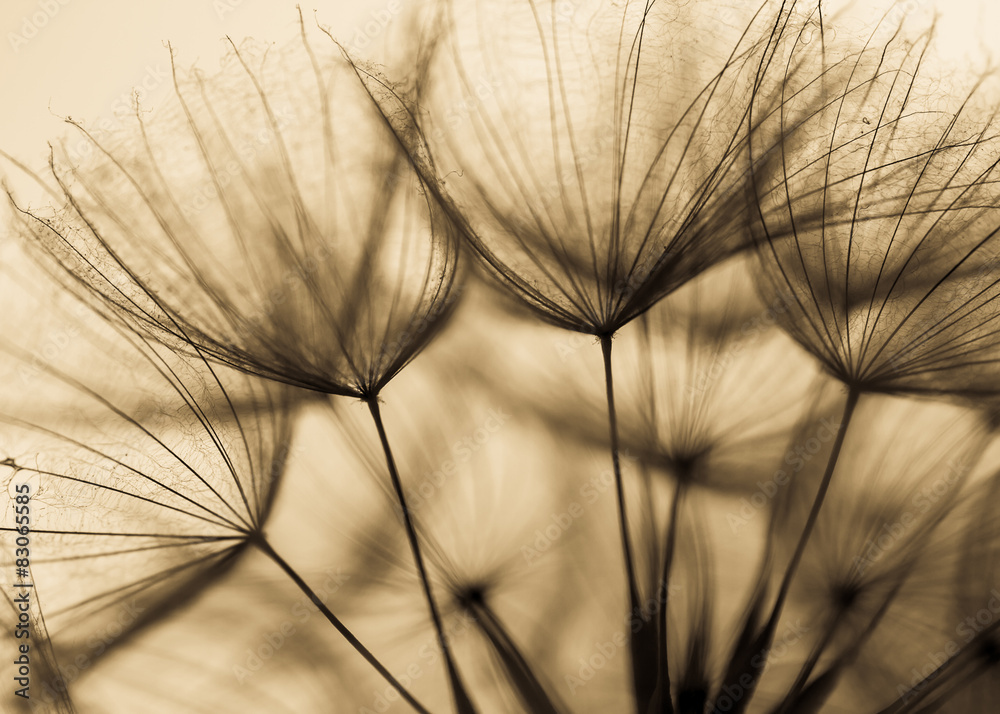 Fototapety, obrazy: Duży mniszek na naturalnym tle. Fotografia artystyczna