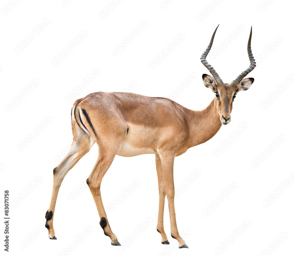 Fototapety, obrazy: male impala isolated