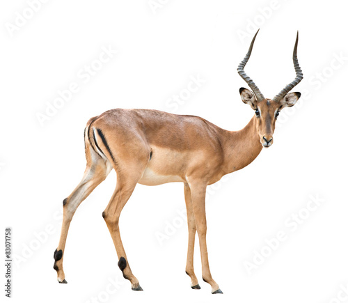 Fotobehang Antilope male impala isolated