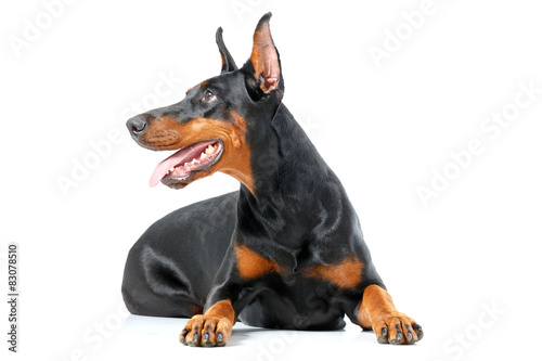 Leinwand Poster Lying playful dobermann pinscher on isolated white background