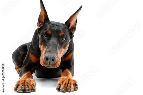 Papel de parede Portrait of lying doberman pinscher