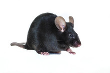 Little Black Mouse Sitting