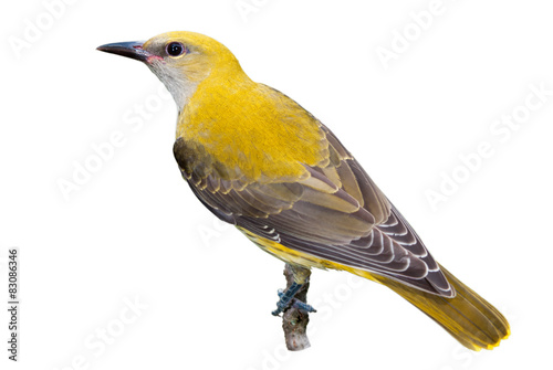 Golden oriole juvenile isolated on white background Canvas Print
