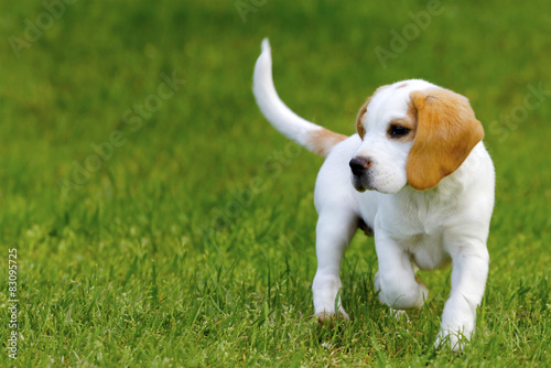 Stampa su Tela Cute beagle puppy