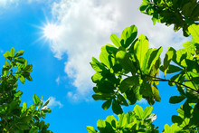 Looking Up To Leaf With Blue Sky And Sun Beam Light