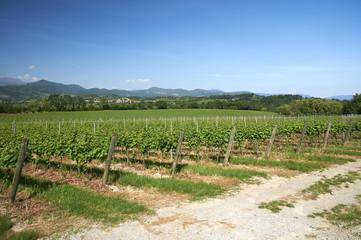 Fototapeta na wymiar vigne