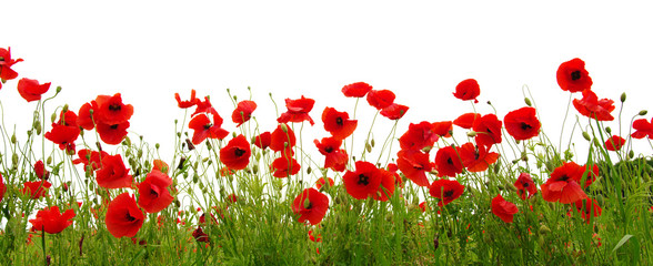Fototapeta Maki red poppy