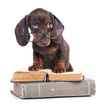 Purebred Dachshund In Glasses And Book