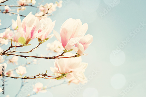 Fotobehang Magnolia Magnolia blossom with a sun flare. Shallow field of depth.