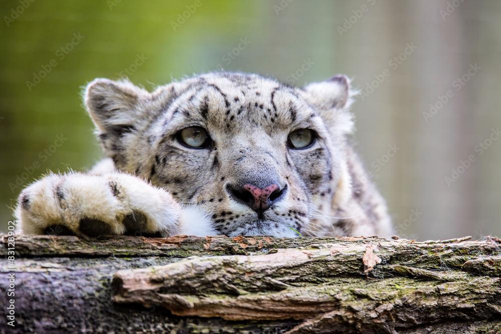 Portrait of a snow leopard, Uncia uncia