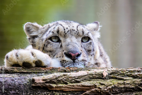 Poster de jardin Bestsellers Portrait of a snow leopard, Uncia uncia