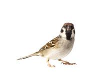 Looking Eurasian Tree Sparrow On White Background