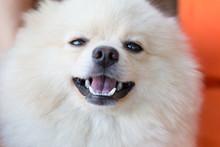Cute Pet, Closeup Face White Pomeranian Dog
