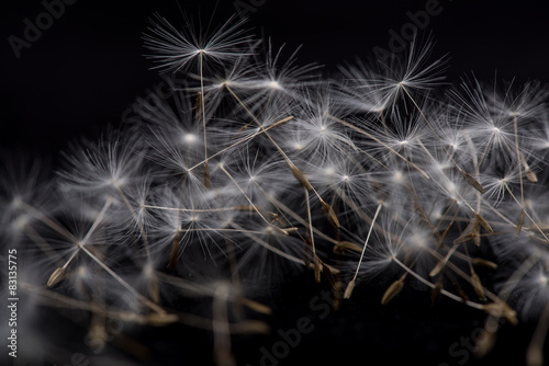 Macro dandelion seed. Many dandelion seeds, close-up flower seeds.