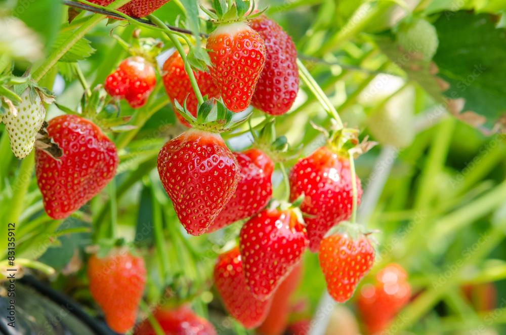 Fototapety, obrazy: Fresh strawberries