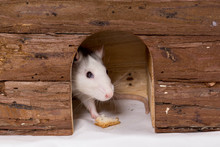Rat Gourmand