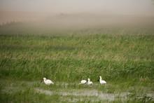 Spoonbills On The Moorland