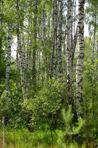 Papiers peints Bosquet de bouleaux Green birch grove
